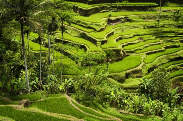 Bali rizsföld