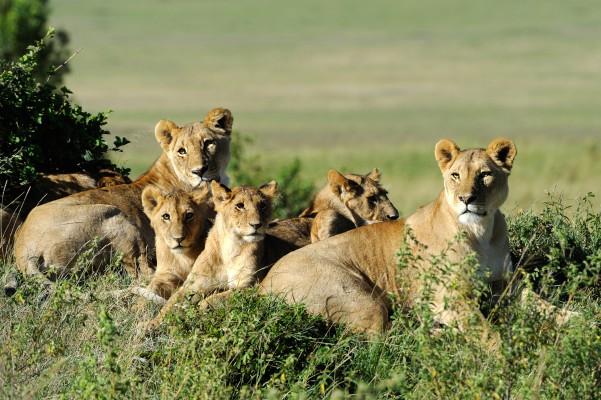 kenya oroszlánok